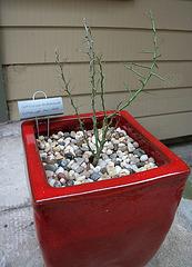 L.A. Garden Tour - Crcidium microphyllum 'Little Leaf Palo Verde' (665