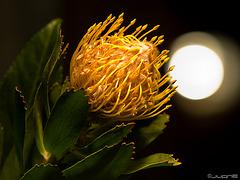 Protea.(Pincushion Protea)