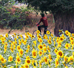 Cycling past sunflowers
