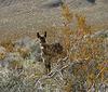 Burro in Butte Valley (5013)