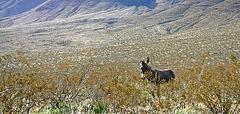 Burro in Butte Valley (5016)