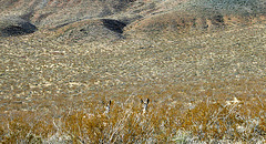 Burros in Butte Valley (5011)