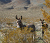 Burros in Butte Valley (5012)