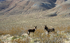 Burros in Butte Valley (5014)