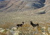 Burros in Butte Valley (5015)