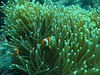 Clown fish hiding in an anemone.