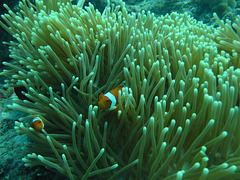 Clown fish hiding in an anemone.