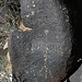 Three Rivers Petroglyphs (5867)