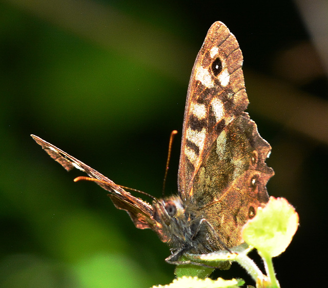 Speckled Wood, Pararge aegeria