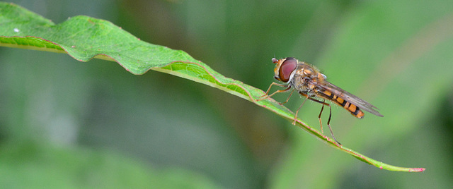 Hoverfly.....in the balance!