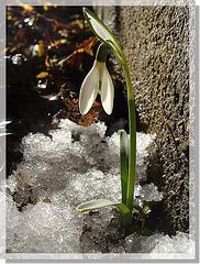 Perce-neige, prémices du printemps ...