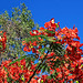 PB285348ac Flamboyant Tree with a Butterfly