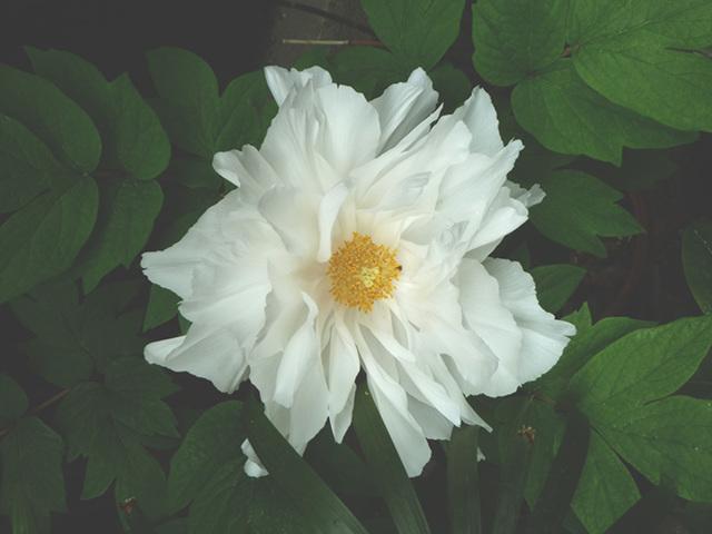 botan-white