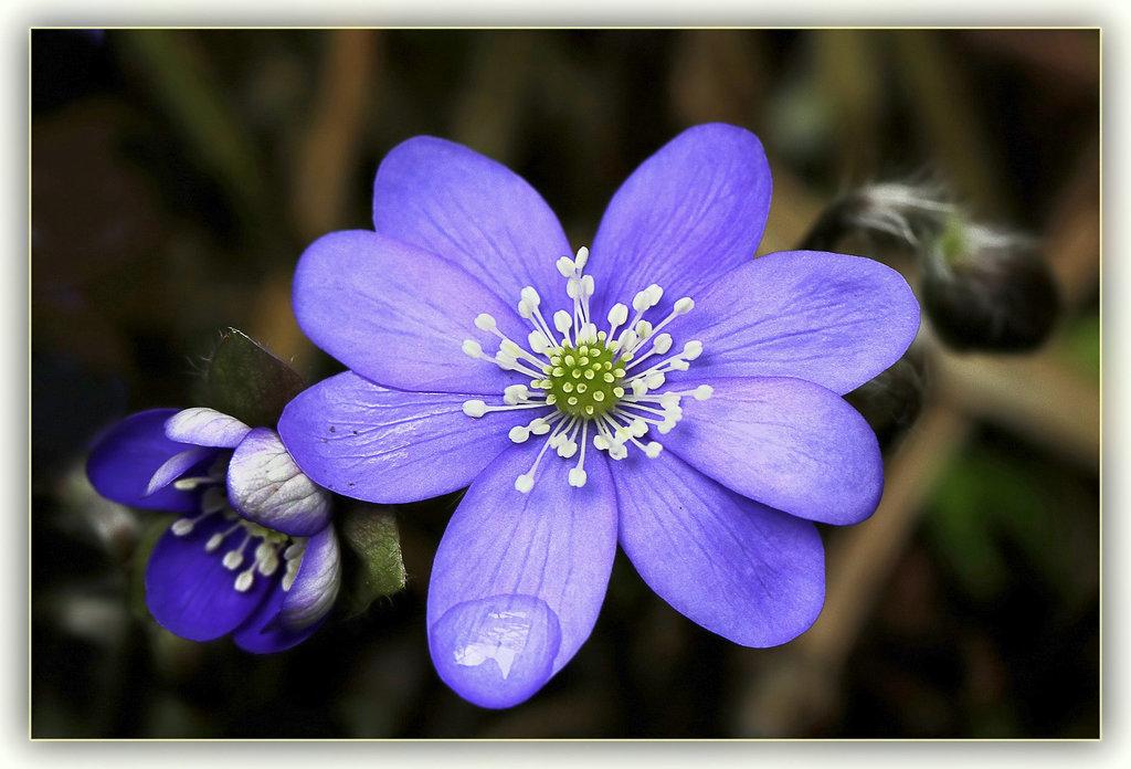 Une fleur par jour.... 7617453.36cb7171.1024