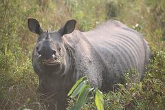 Chewing Rhino