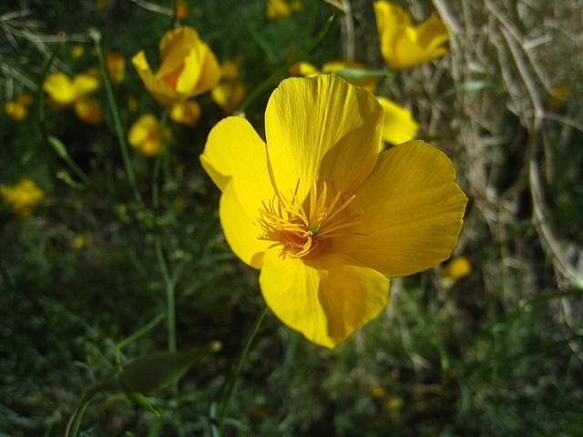 Poppy (5556)