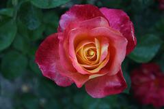 Juillet Rose.