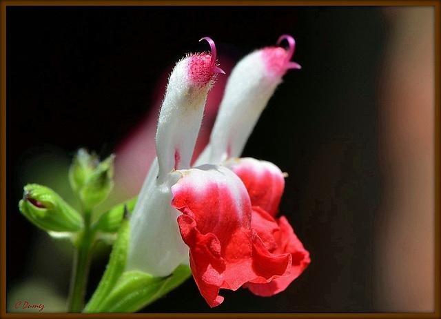 Salvia microphilla