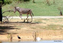 Zebra with swamp hen