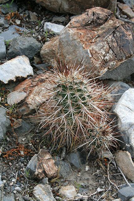 Cactus (5163)