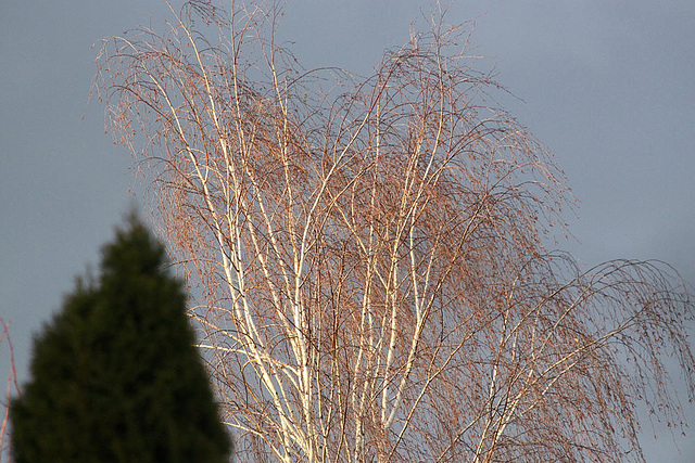 20100302 1483aw Baum Abendsonne