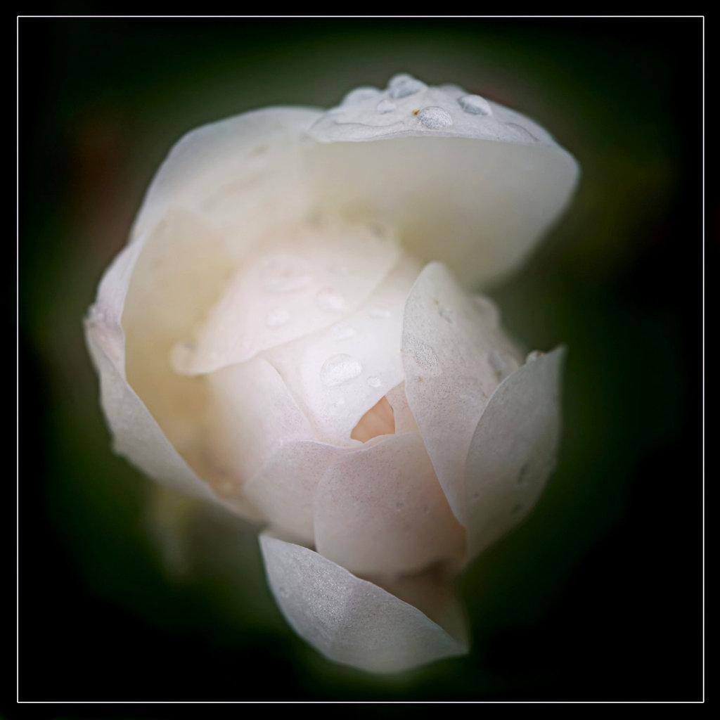 Une fleur par jour.... 7699392.74e4b070.1024