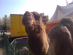 Camels from the Cirque de Bercy