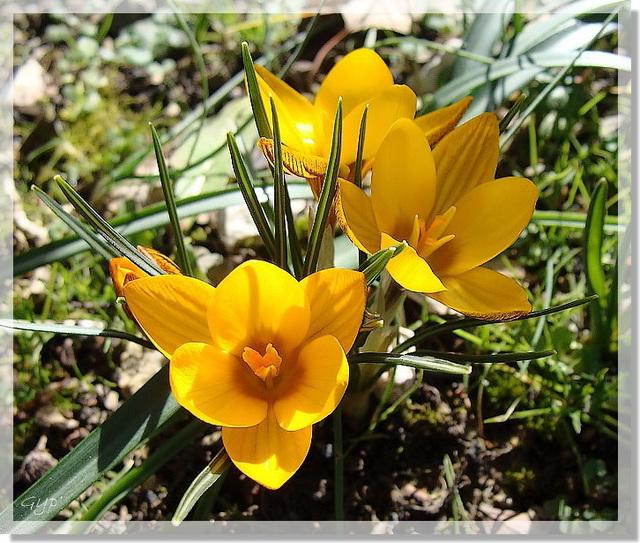 Crocus chrysanthus
