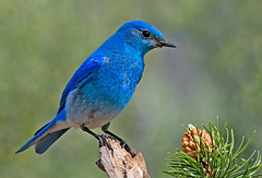 Eddie Constantine chante : L'Oiseau bleu