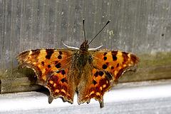 Serre au papillon ou C-album (Monsieur)