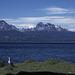Upland Goose - Tierra del Fuego