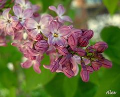 Leylak... Lilas... Lilac...