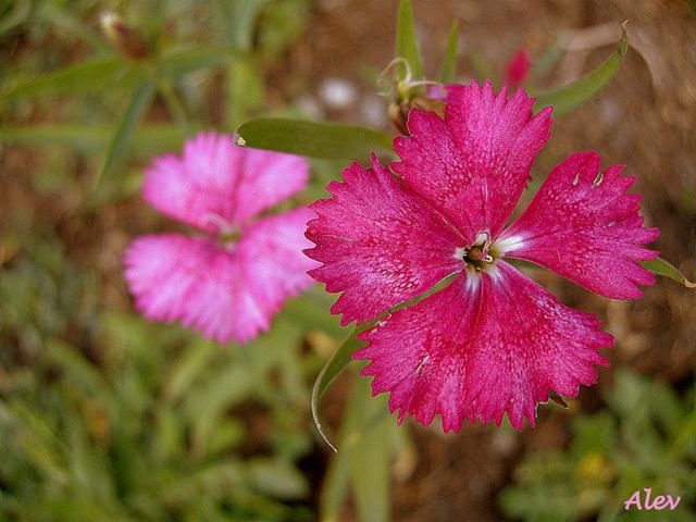 Pembe... Roz... Pink...