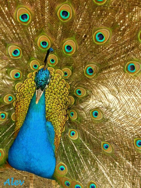 Tavus Kuşu... παγώνια... Peacocks...