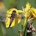 20100616 5692Aw [D~BI] Vierfleck (Libellula quadrimaculata), Bielefeld
