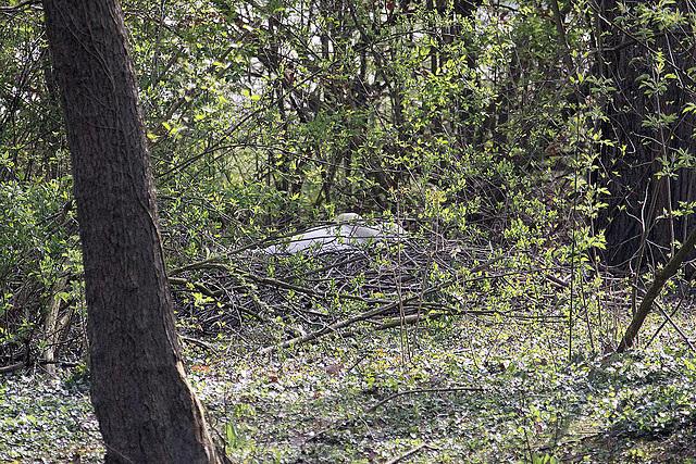 20100424 2391Aw [D-LIP] Höckerschwan (brütet), Landschaftsgarten, Bad Salzuflen