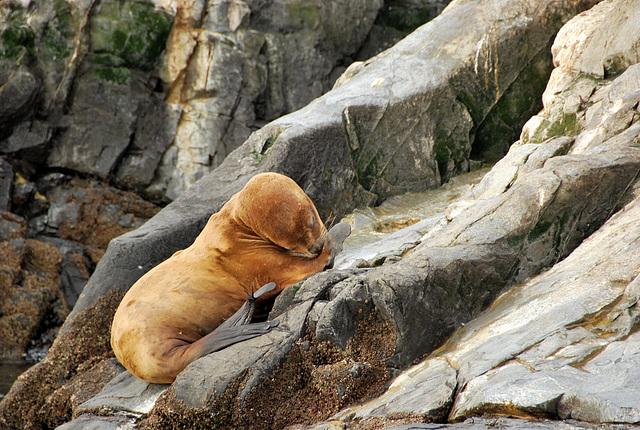 Sealion, Beagle Channel