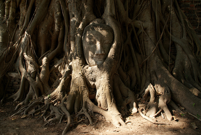 Buddha Head in a Tree