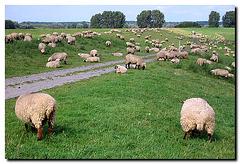 Nähe Xanten, Schafe