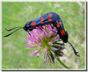 Zygaena transalpina (couple)