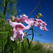 Desert Willow Blooms (5698)