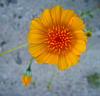 Flower in Mecca Hills (5702)