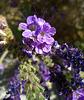 Flower in Mecca Hills (5703)