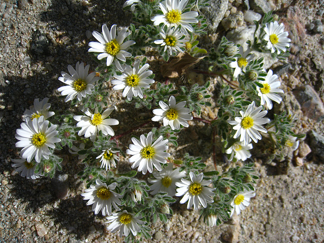 Flower in Mecca Hills (5704)