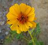 Flower in Mecca Hills (5713)