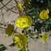 Flower in Mecca Hills (5745)