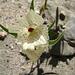 Ghost Flower (5705)