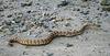 Rattlesnake (5710)