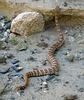 Rattlesnake (5711)