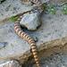 Rattlesnake (5712)